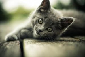 Grey_Kitten