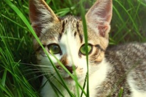 kitten-in-the-grass