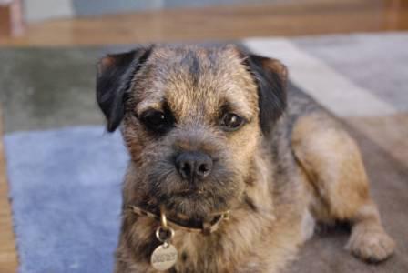 border terrier, dog care frankston, dog behaviour langwarrin, dog training seaford vet