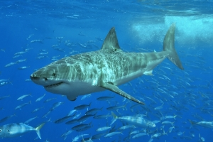 Great_White_Shark