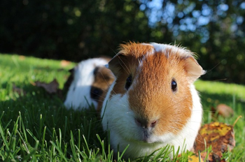 Guinea pig care frankston karingal vet hospital our experienced vets can advise you about the best diet for your pet guinea pig solutioingenieria Images