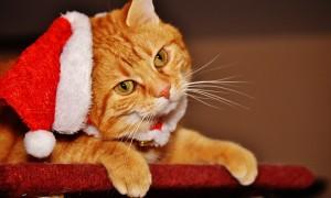 christmas, cat, pet for christmas, xmas pets, karingal veterinary hospital, vets frankston, mornington peninsula vet clinic, pet care langwarrin, seaforth vet, somerville vet, vet near me langwarrin