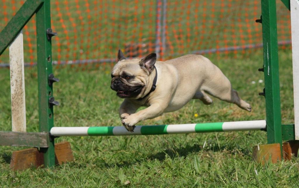 dog show melbourne, pug, dog agility, dog vet melbourne, puppy school