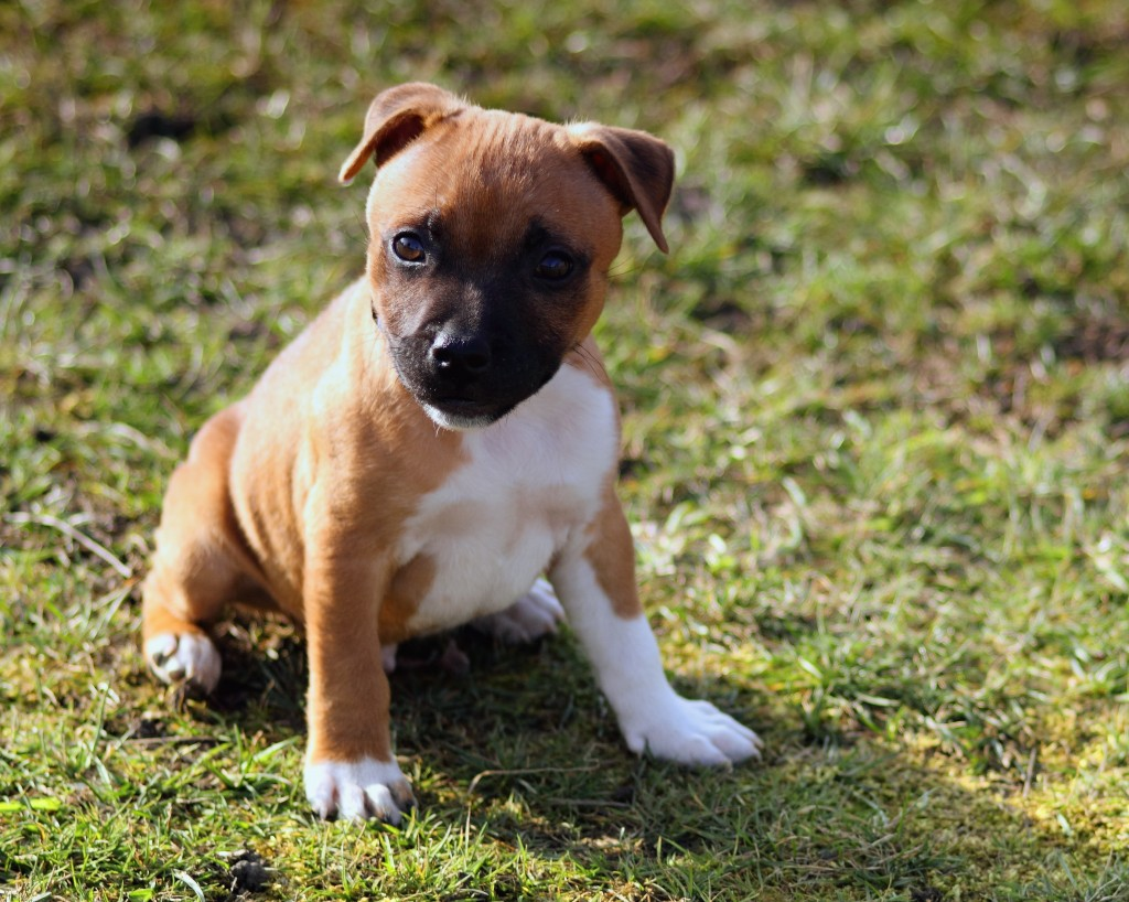 A puppy attending puppy school in Frankston