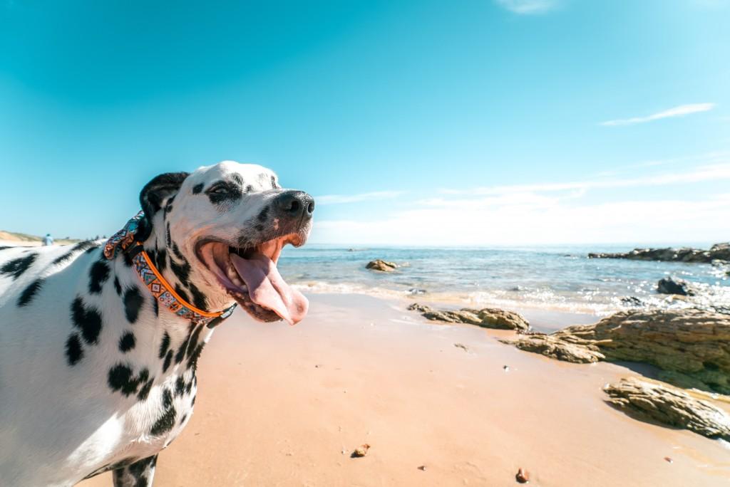 Dalmatian at risk of heat stroke on a beach
