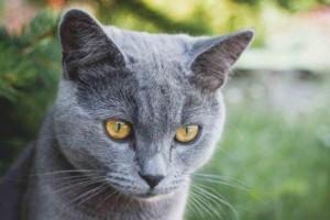 Grey_cat