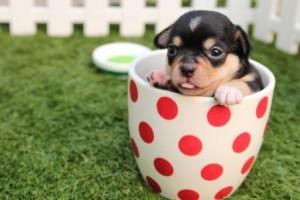 chihuahua-dog-puppy-cute-39317