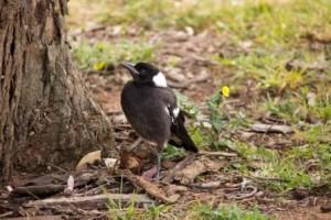 Australian_Magpie_fledgling