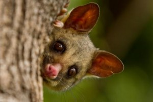 Brushtail_Possum_Wildlife