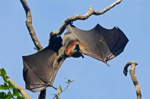 Flying_Fox_Wildlife