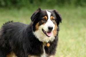 Australian Shepherd, dog care, dog health Frankston vet care