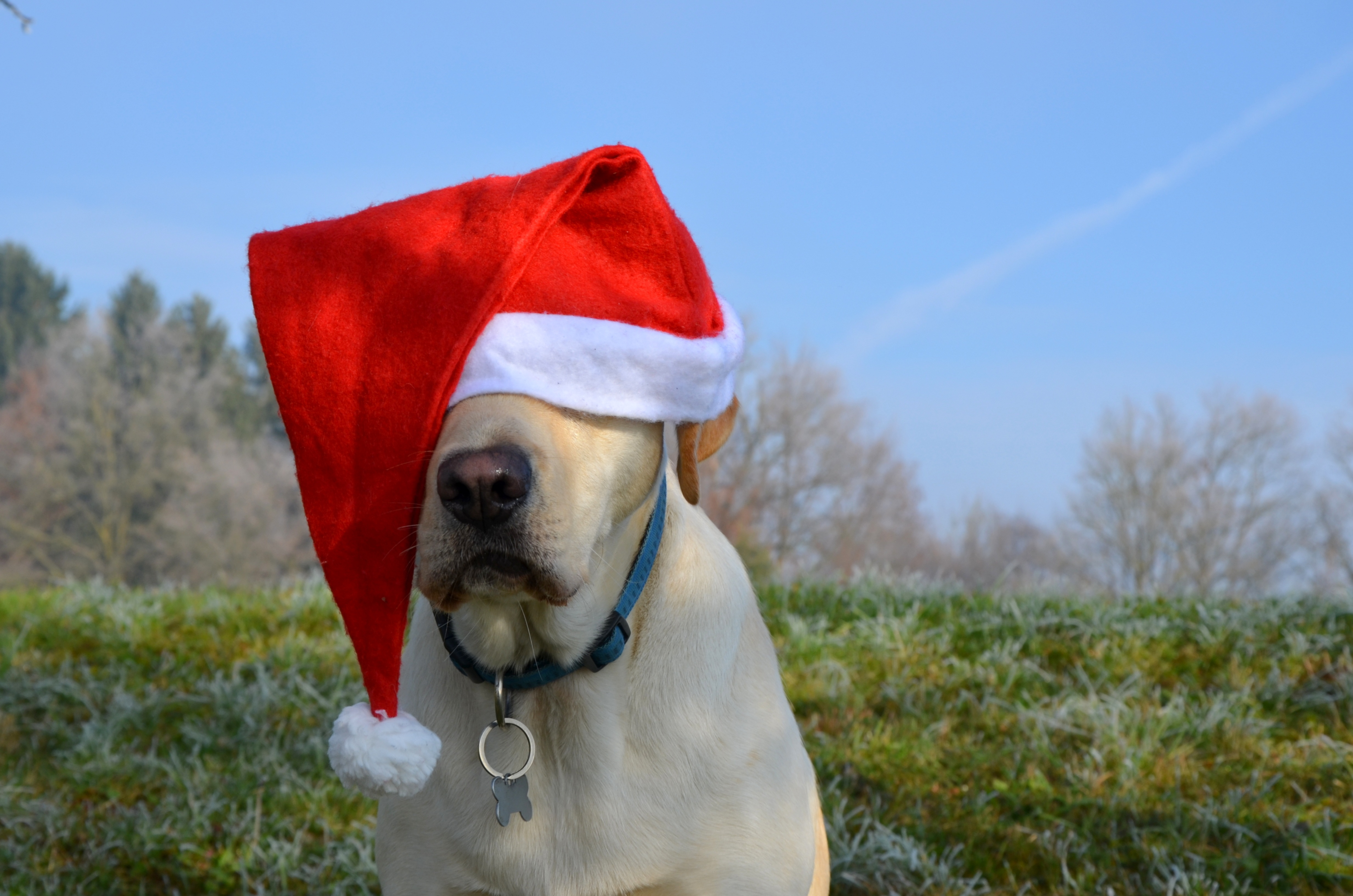 Christmas Santa Hat Labrador Retriever Dog Santa