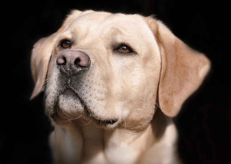 dog care frankston, vet, mornington peninsula, animal hospital, labrador, lab, golden lab, labrador retriever, wellness care, vital care plan, pet care frankston