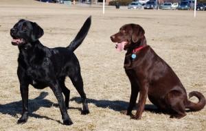 karingal veterinary hospital, frankston vet, labrador retriever, dogs, dog care, dog