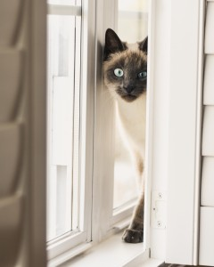 siamese cat, melbourne vet, frankston vet, seaford cat care