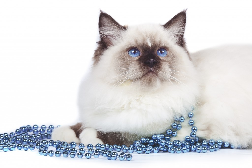 A Ragdoll with blue beads - Karingal Vet Clinic