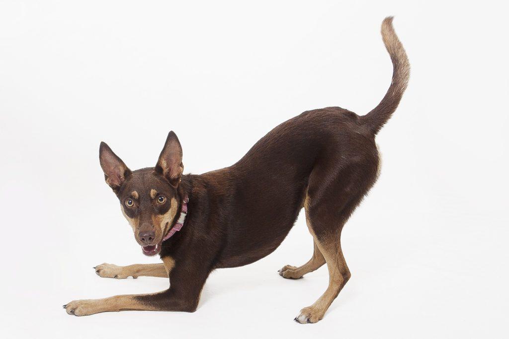 Australia Kelpie  Dog care