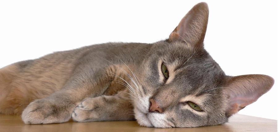 Popular Cat Series Abyssinian Karingal Vet Hospital