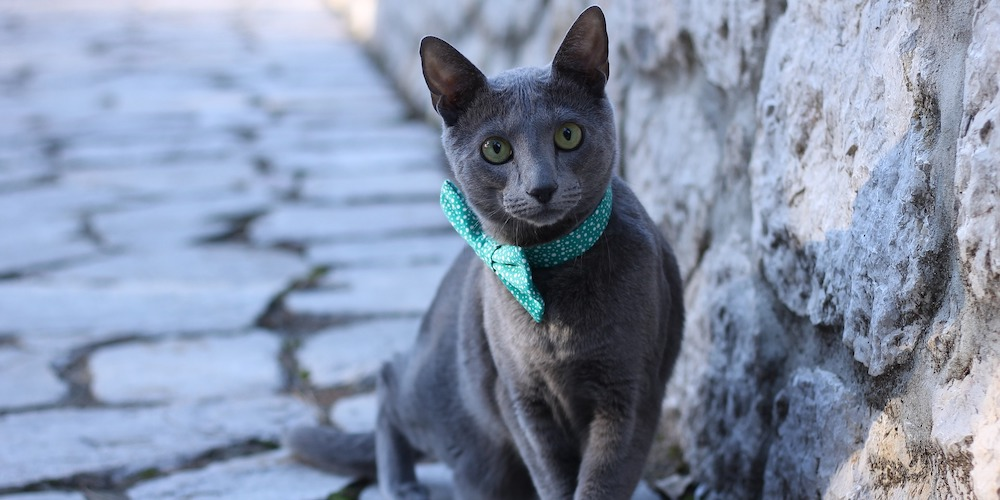 rusiian blue with bow tie