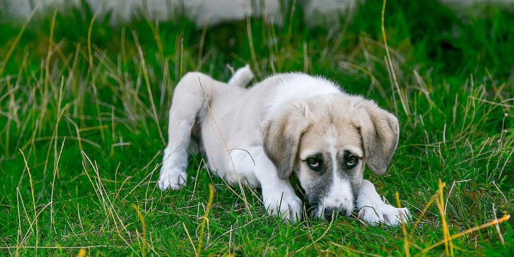 heartworms in dogs, puppy in grass