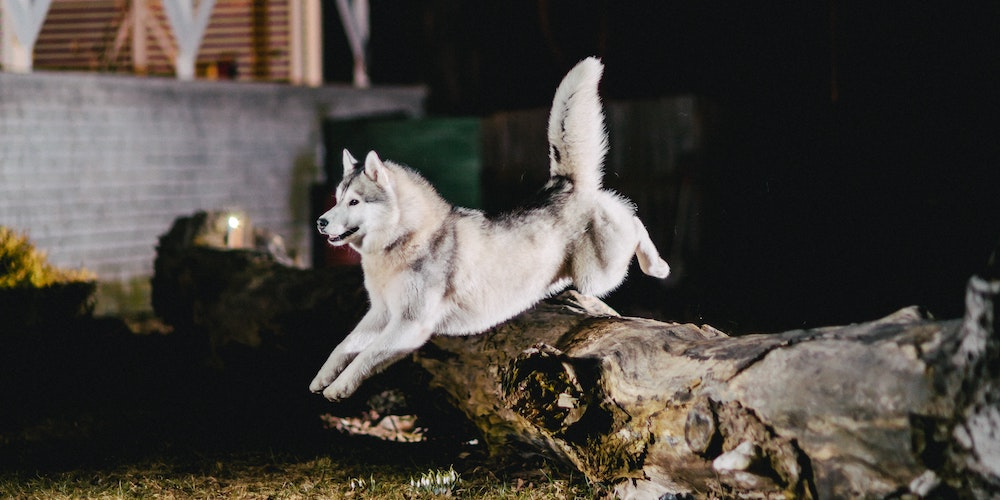 Alaskan Malamute Dog Jumping